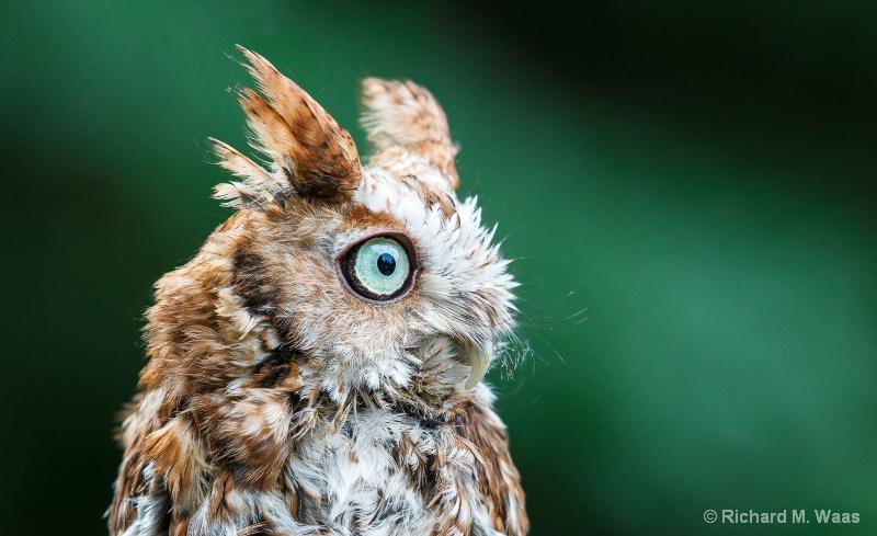 Cute Baby Owlet