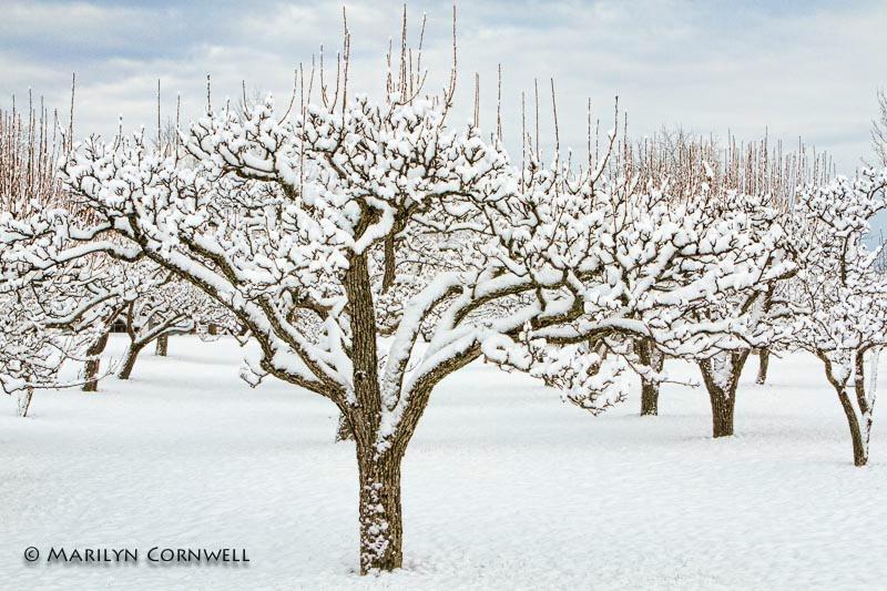 The Niagara Snow Blossom Trail