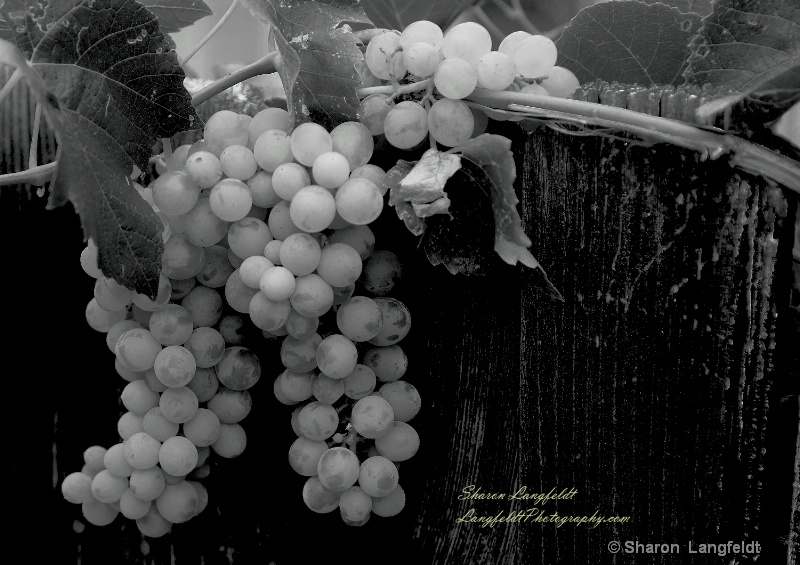 grapes on fence in b w