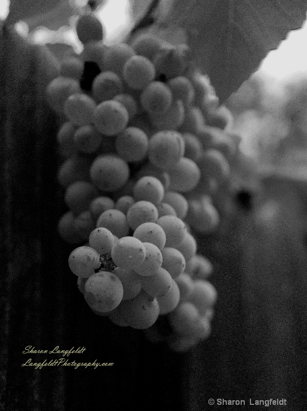 grapes along the fence b w