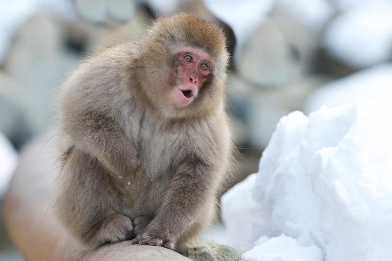 Snow Monkey in Snow