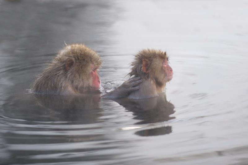 Snow Monkeys Grooming in Hot Tub