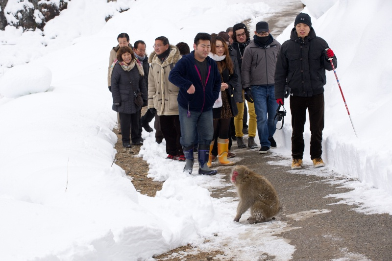 Snow Monkey and Tourists