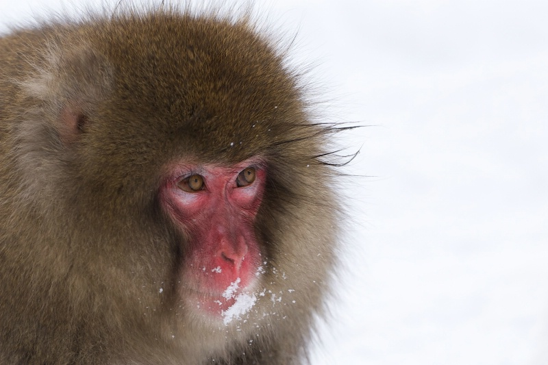Snow Monkey in the Snow