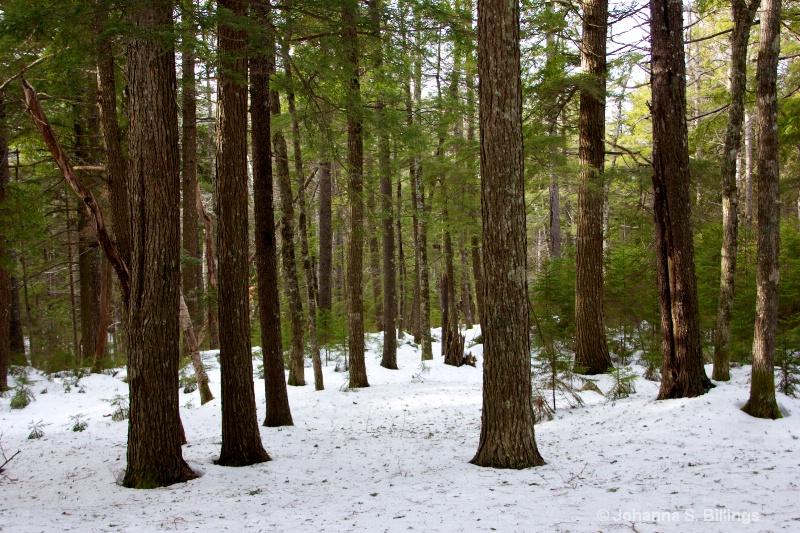 Maine Woods in Winter