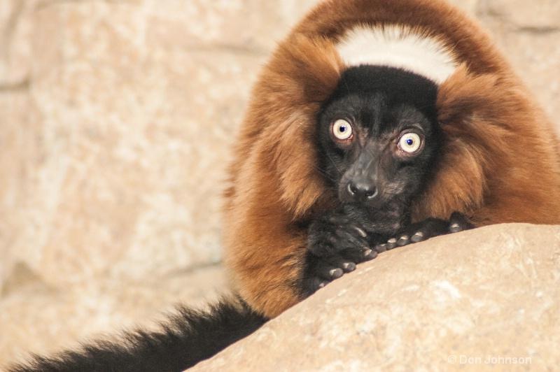 DC Lemur