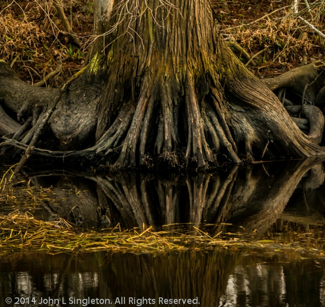 Cypress Knees/Reflection