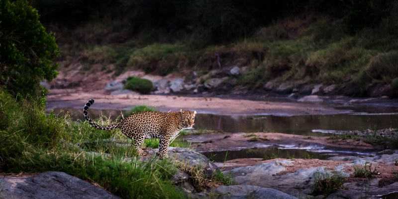 Leopard at first Light