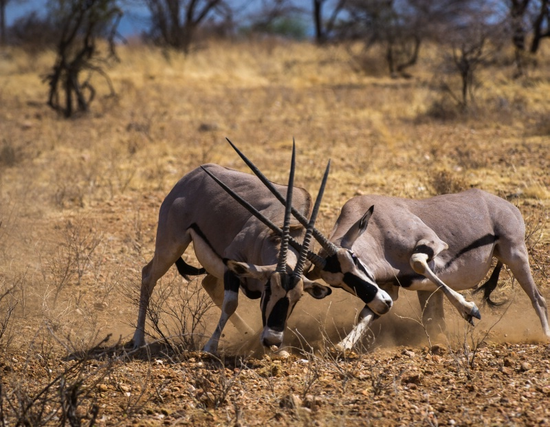 Oryx Fight