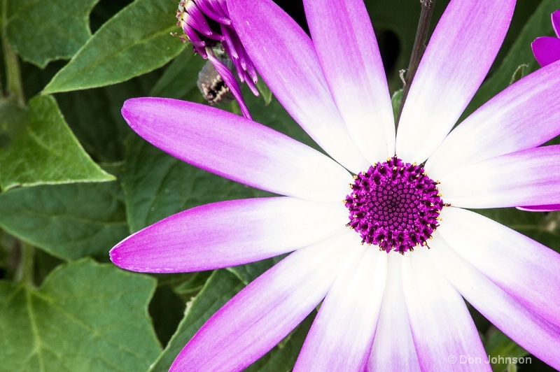 Purple and White Daisy