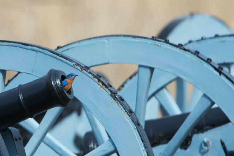Bluebird in a Cannon