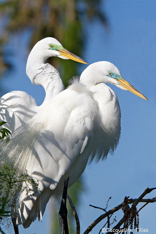 Great Egrets in Breeding Color