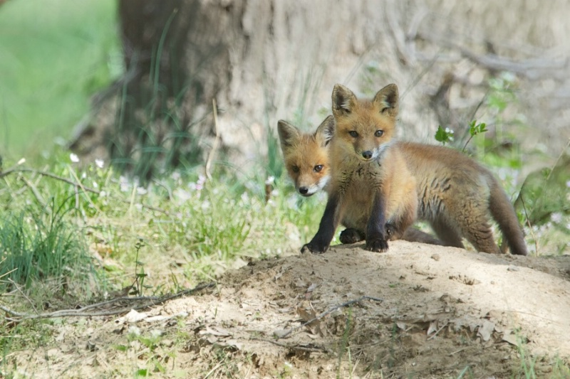 Two Baby Foxes in Valley Forge