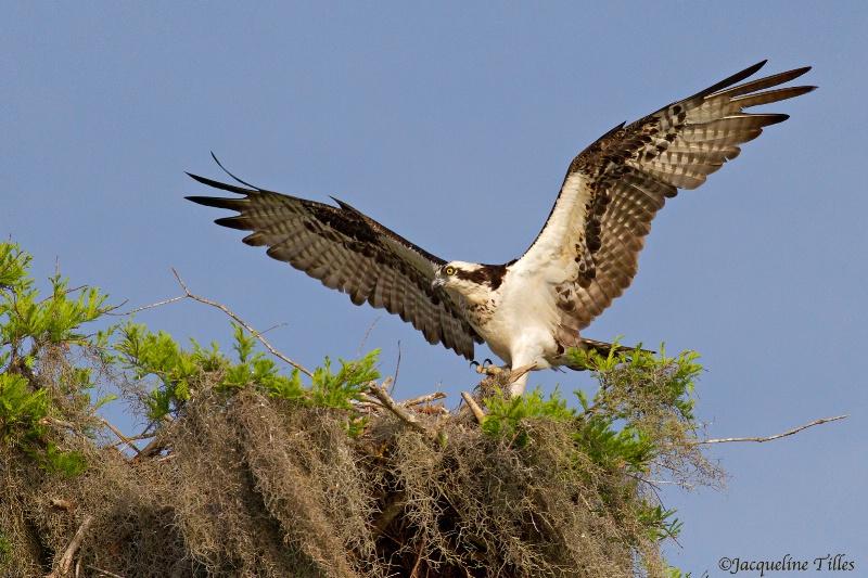 Osprey Returning to Her Nest
