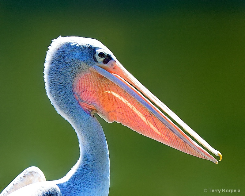 Portrait of a Pink Backed Pelican