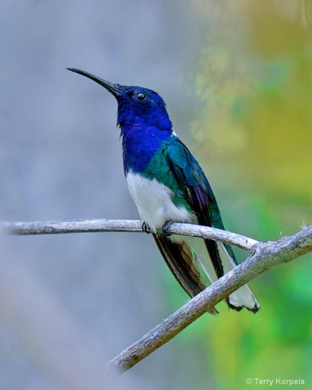 Humming Bird  San Diego Zoo