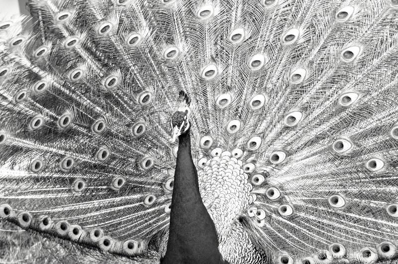 B&W Displaying Peacock
