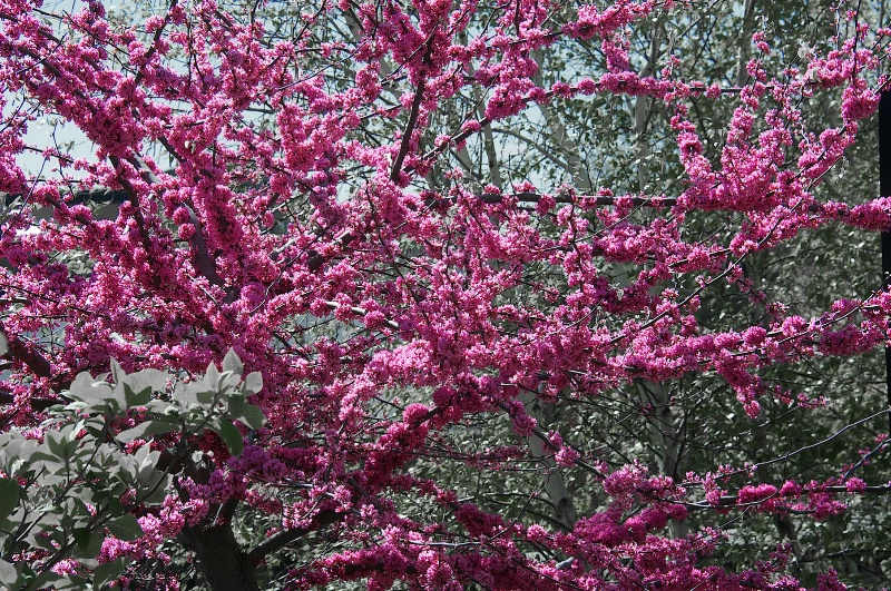 Cherry in Central Park