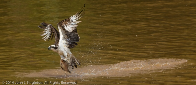 The Catch - Osprey