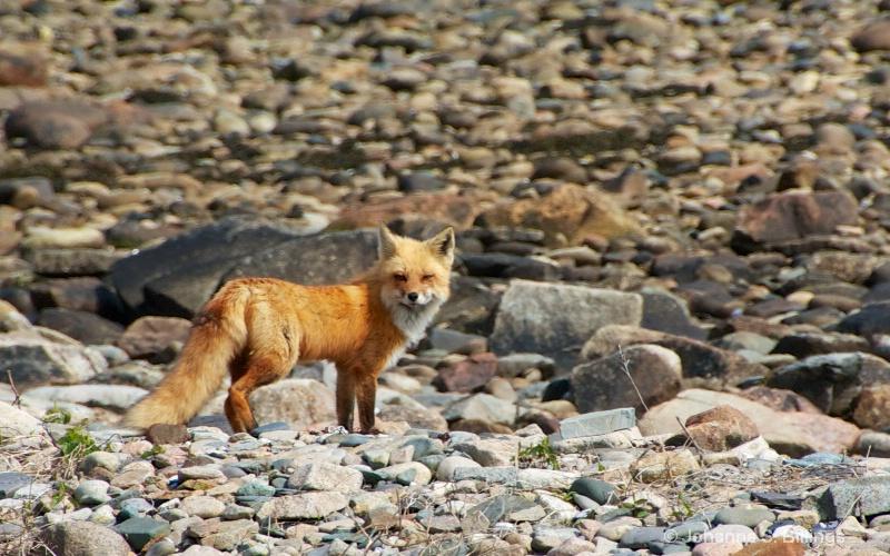 Foxy Critter