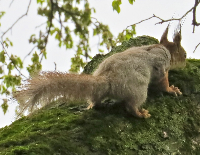 Another capture of Eurasian Red Squirrel