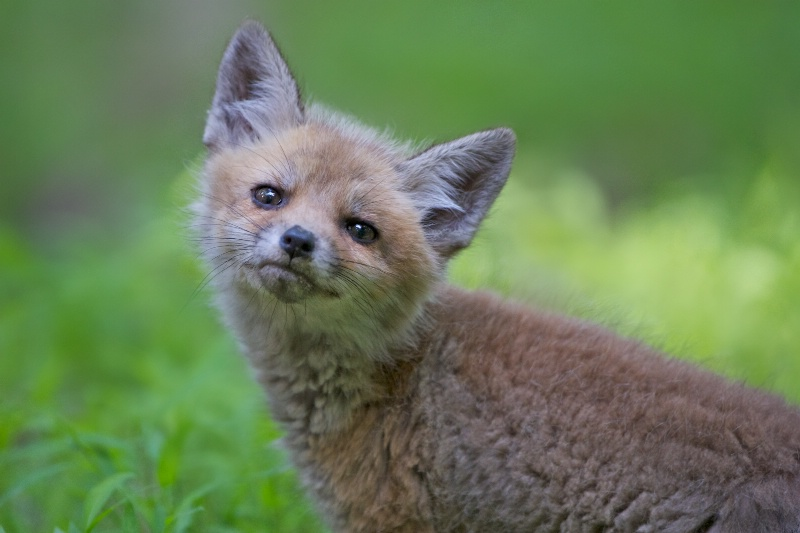 Curious Little Fox