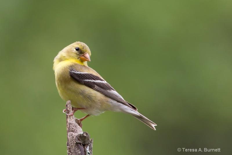 Pretty Little Goldfinch