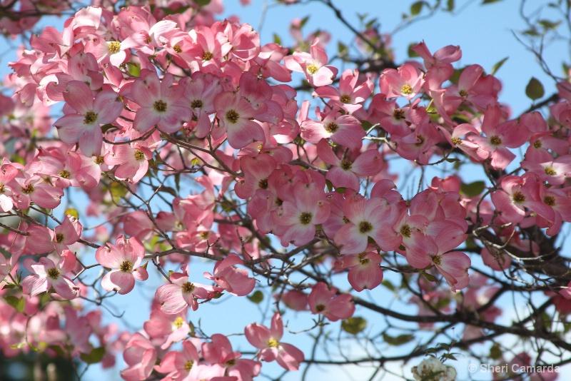 Dogwood In Full Bloom