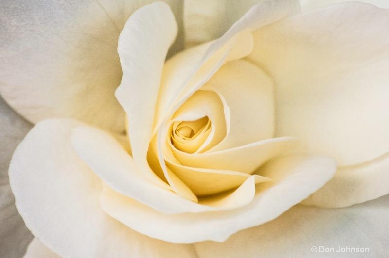 NYC White Rose
