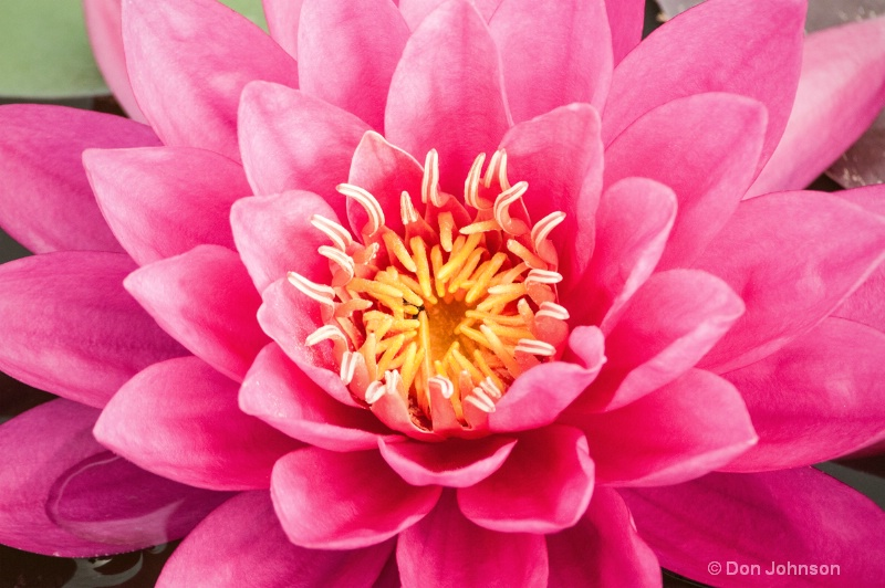 Lilipons Pink Water Lily 046