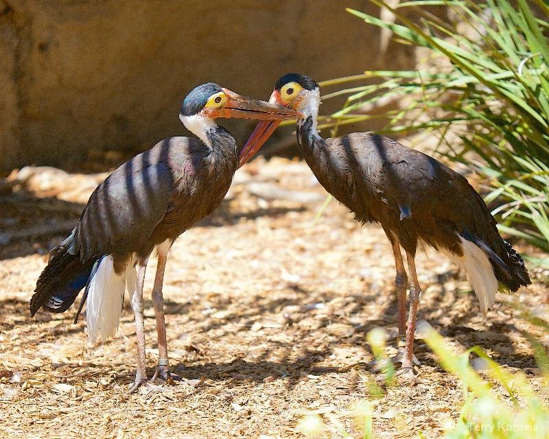 Storm Storks   (very rare)