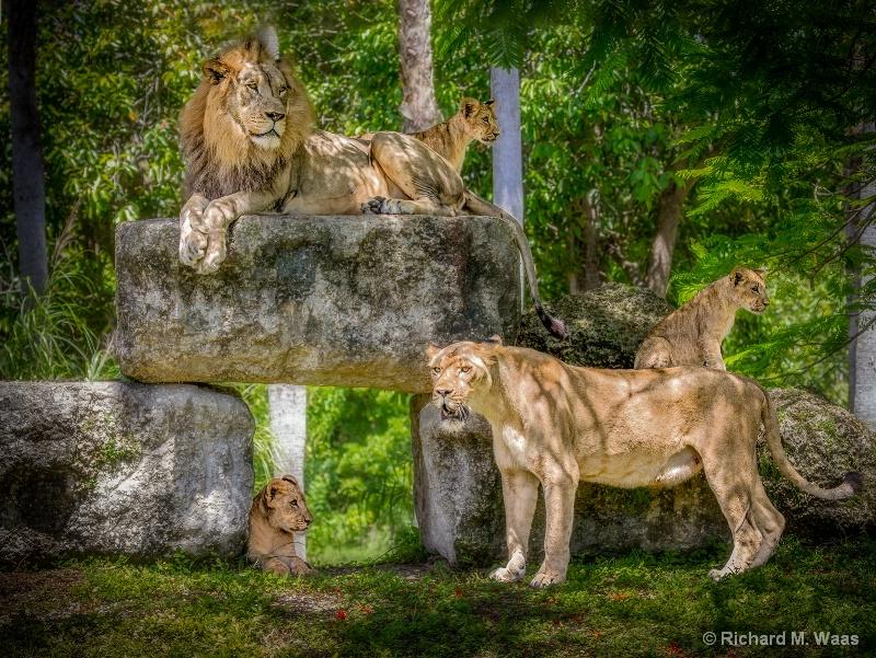 Pride of the Jungle
