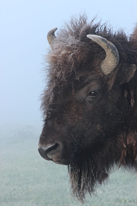 Frost on the Bison