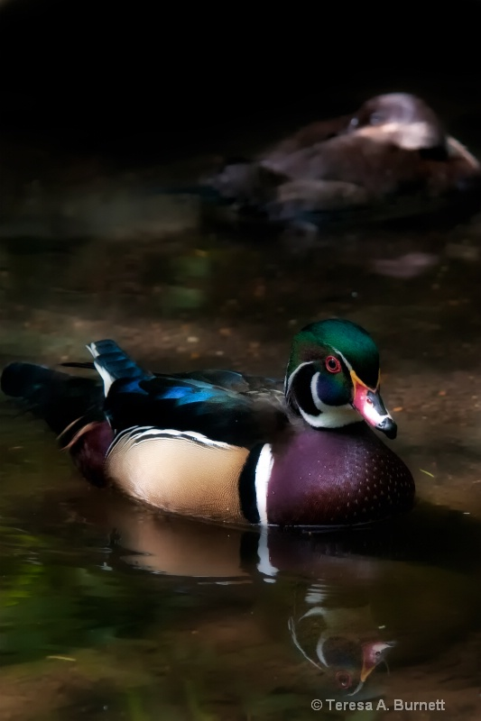 Wood Duck In Still Waters