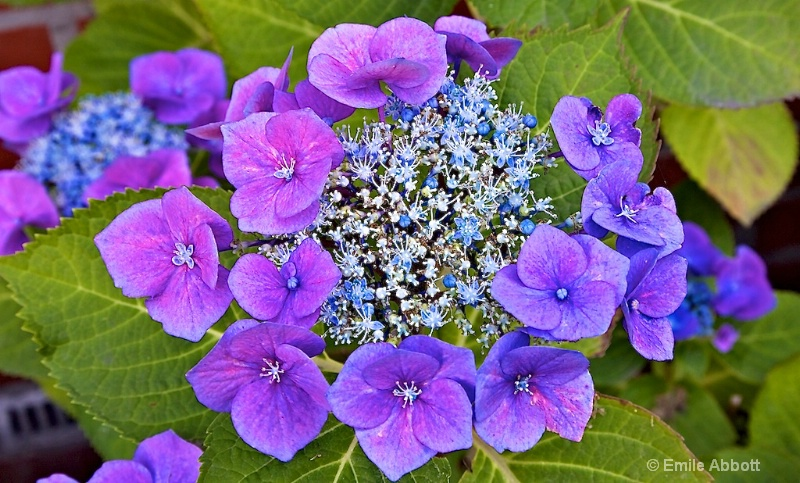 Purple with touch of green and blue
