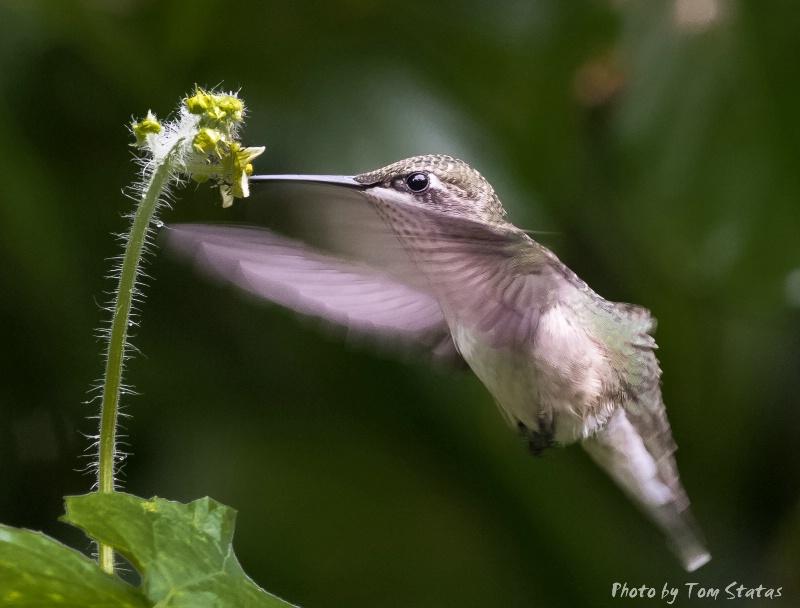 Humming Bird by Thomas Statas