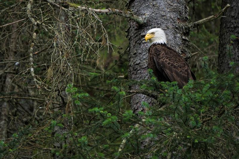 Standby Eagle
