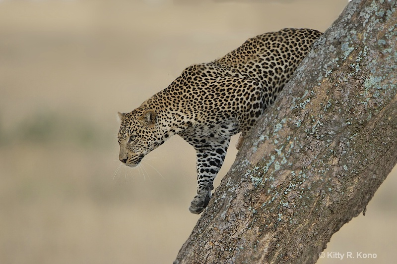 Leopard Coming Down From Tree