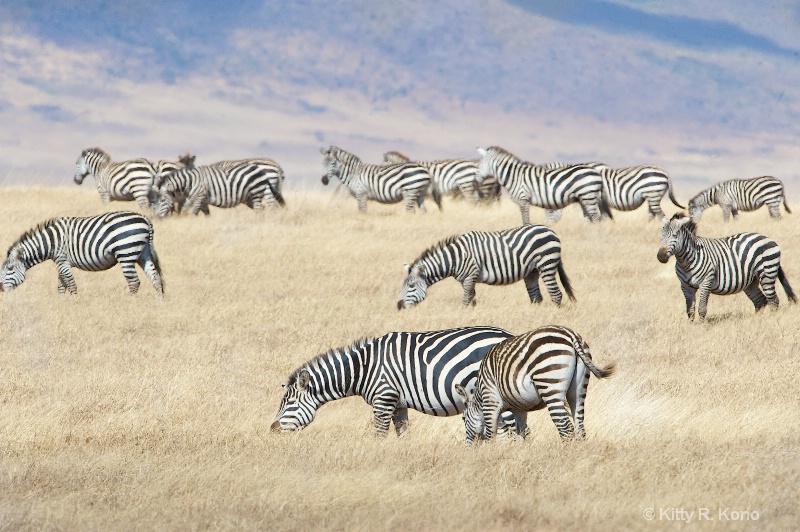 Zebras in Ngorongo Crater