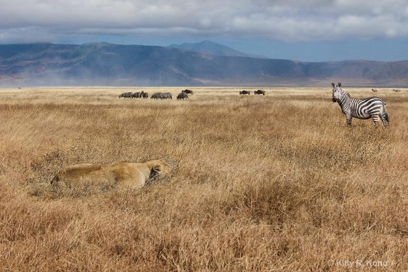 Lion Watching Zebra Watching Lion