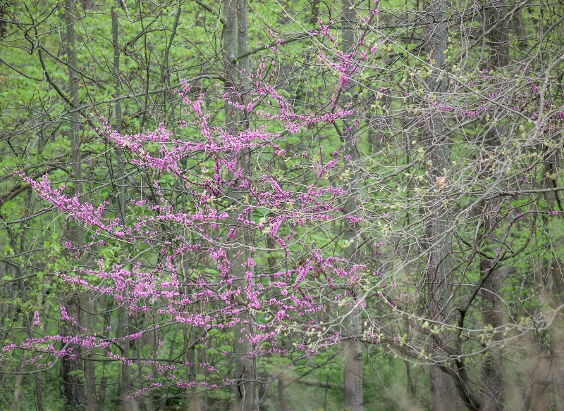 Eastern Redbud In Woods
