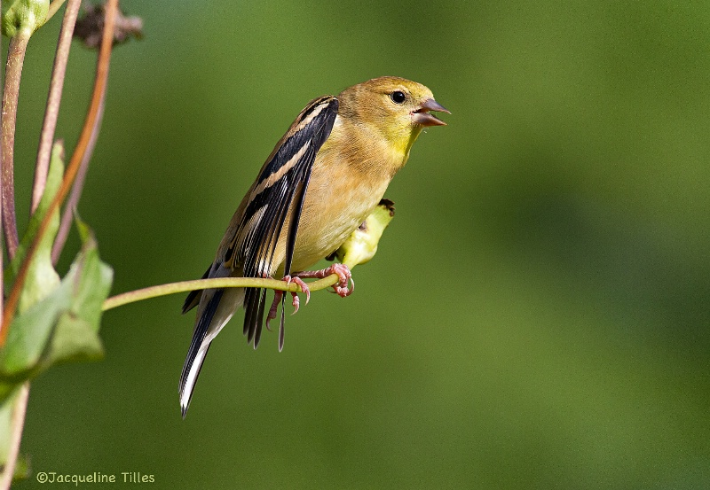Immature American Goldfinch