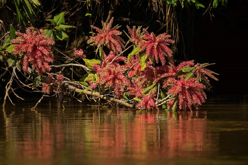 red-flowering-tree-over-the-water-day-5-am