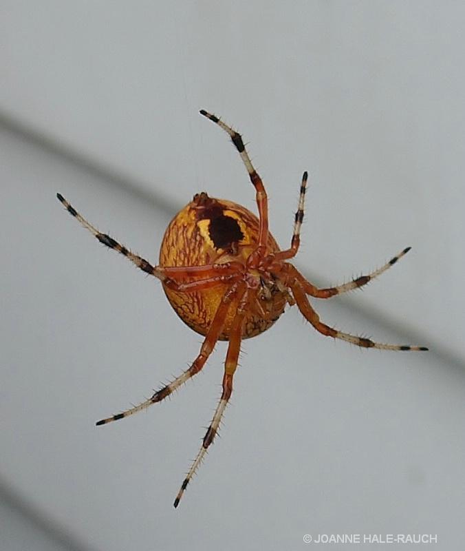 ORANGE SPIDER