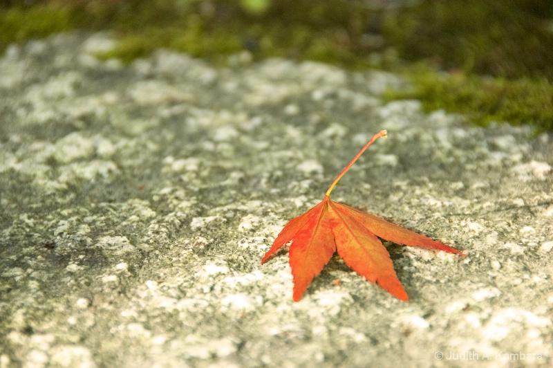 softly lit maple
