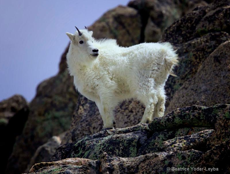 mg 4772 goat i did it