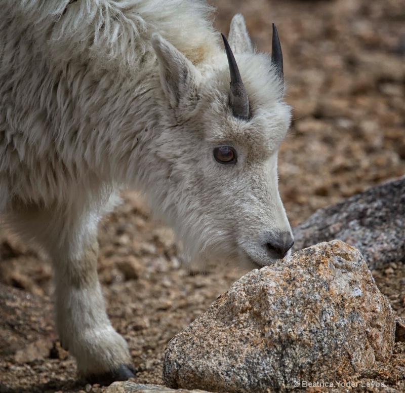 mg 4799 baby goat profile