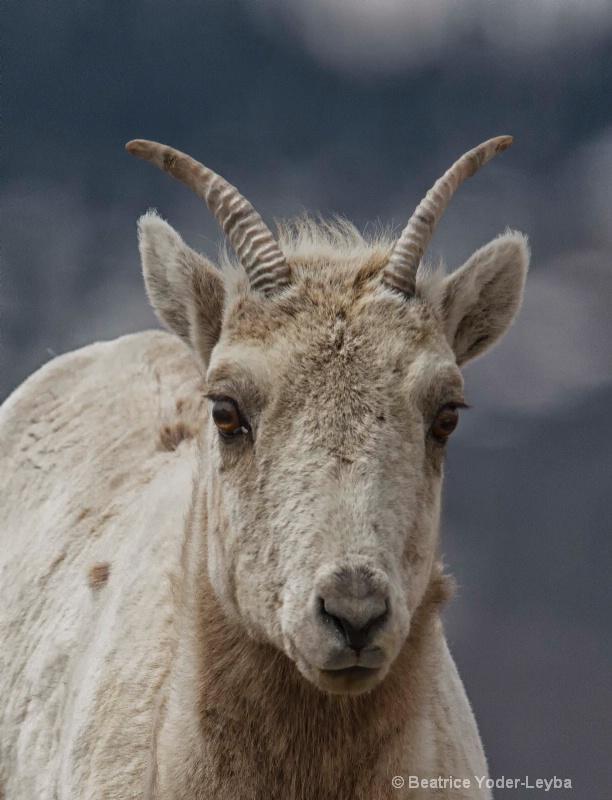 mg 4864 mte sheep face