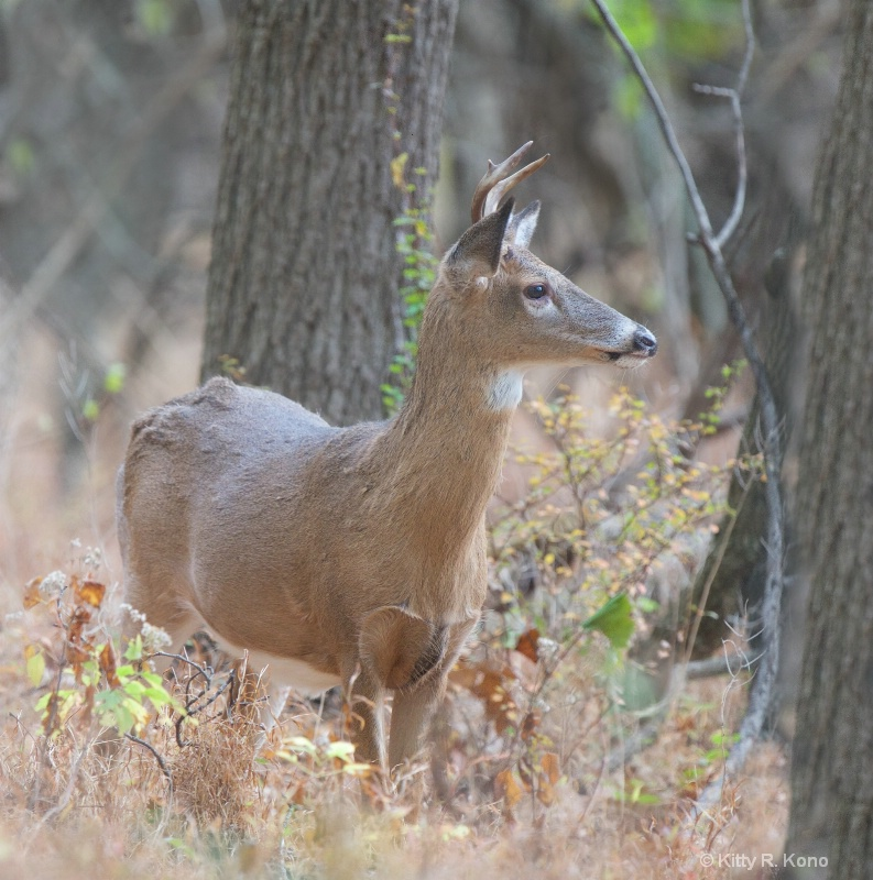 Little Buck in the Woods Today