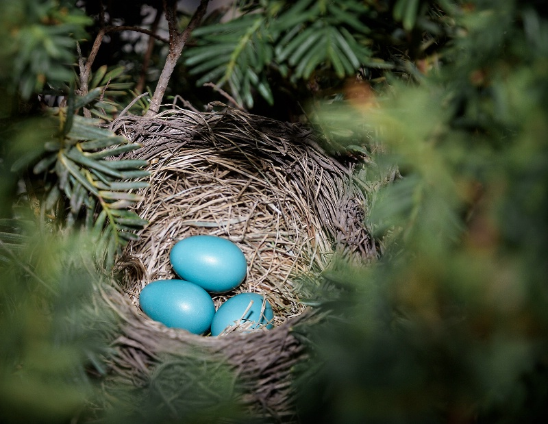 American Robin's Nest and Eggs